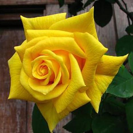 Semillas de Rosas Amarillo 50 PCS Semillas de Flores Raras para Jardin, Huerto, Balcon Interior: Amazon.es: Jardín