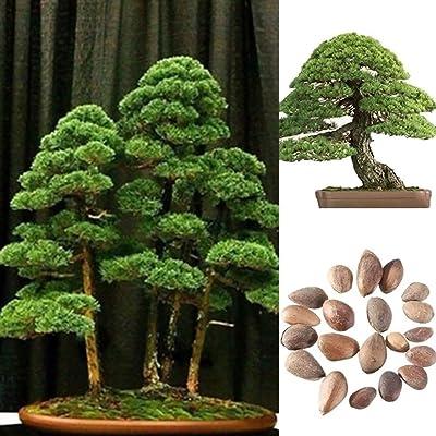 Plant Seeds for Planting 40Pcs White Pine Seeds Bonsai Pinus Plant Parviflora Tree Home Garden Decor : Garden & Outdoor