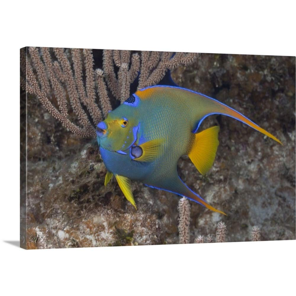 97037a5e4e Amazon.com: GREATBIGCANVAS Gallery-Wrapped Canvas Entitled Queen Angelfish  Swimming Over Tropical Coral Reef in The Bahamas, Atlantic Ocean by  36