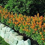 25 ERYSIMUM 'Citrona Orange' (Seeds) large fragrant clusters of flowers