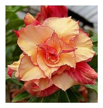 Du Obesum Rose Faux Adenium Morning Graines Baobab Star Désert 3 A34R5jL