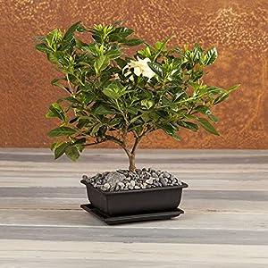 Fragrant Gardenia Bonsai – Bonsai Tree – Flowering Plant – Flowering Bonsai Tree – Live Plant – Green Gift – Cut Flower Alternative – Ships fast via 2-Day Air