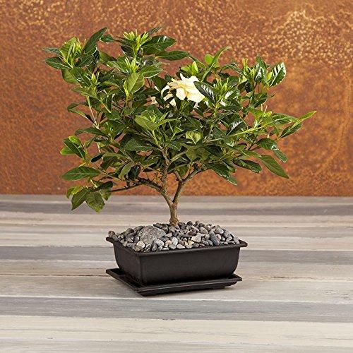 inspiring gardenia house plant. Fragrant Gardenia Bonsai  Tree Flowering Plant Live Green Gift Cut Flower Alternative Ships fast via 2 Day Gardenias Flowers Amazon com