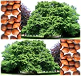 Turkish Filbert, Turkish Hazelnut - Corylus colurna TREE Seeds - gained the Royal Horticultural Society's Award of Garden Merit - ZONES 5 And Up - By MySeeds.Co (005 Seeds - 5 Seeds - Pkt. Size)