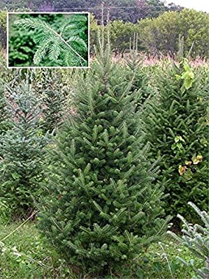 15 Seeds Abies Balsamea (Balsam Fir) Pine Tree