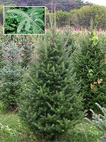 15 Seeds Abies Balsamea (Balsam Fir) Pine Tree