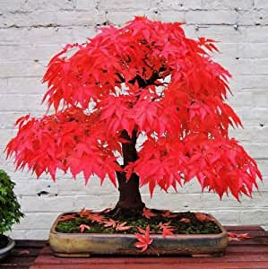 Japanese Maple - Acer Palmatum Dissectum - 20 seeds - Ornamental Tree R016