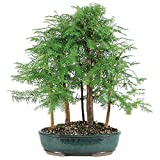 Brussel's Dawn Redwood Grove Bonsai - X Large - (Outdoor)