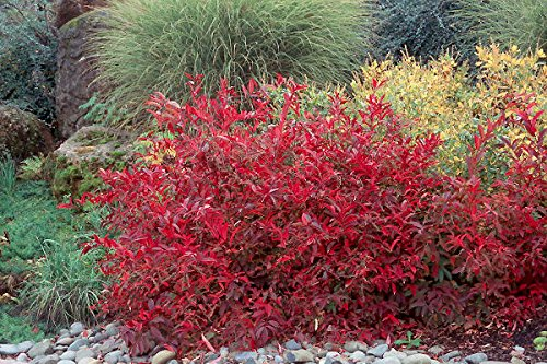 (Henry's Garnet Itea/Virginia Sweetspire - Live Plant Shipped 1 Foot Tall in Gallon Pots by DAS Farms)