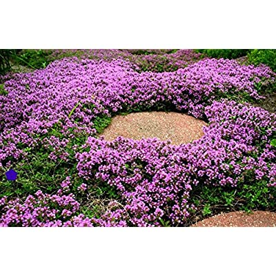 Cutdek Creeping Thyme Ground Cover, 1000 Seeds, Ready to Ship : Garden & Outdoor