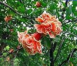 Best Garden Seeds Heirloom wu hua 'white orange pomegranate flower seeds, Professional Service Pack, 20 Seeds / Pack, Light Fragrant Flowers shrub Punica