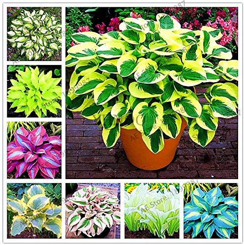 Amazon Com 150pcs Bag Beautiful Hosta Plants Perennials Lily