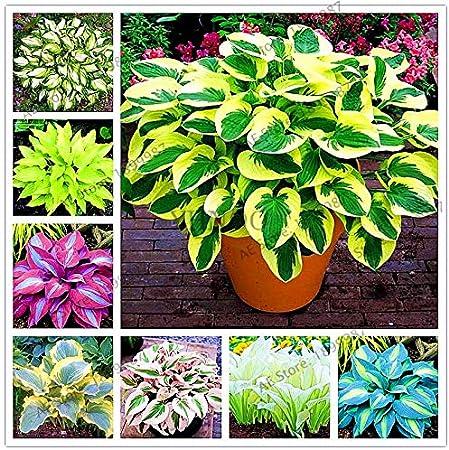 Amazon Com 150pcs Bag Beautiful Hosta Plants Perennials Lily