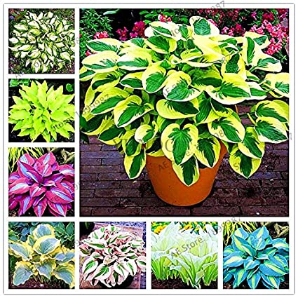 Hostas For Sale >> Amazon Com 150pcs Bag Beautiful Hosta Plants Perennials Lily