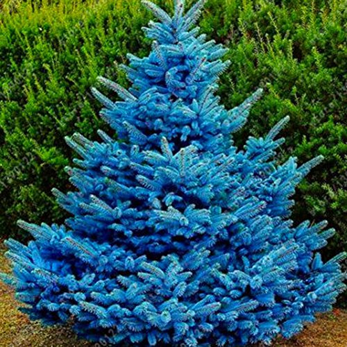 Wintefei 20 Pcs Adaptable Colorado Sky Blue Spruce Hardy Picea Pungens Glauca Tree ()