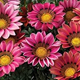 Outsidepride Gazania Kiss Rose - 100 Seeds