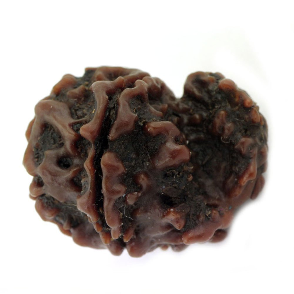 skyjewels Natural Garbh Gauri Rudraksha at Wholesale Price