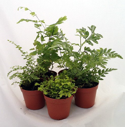 Mini ferns for terrariums fairy garden 5 different for Different garden plants