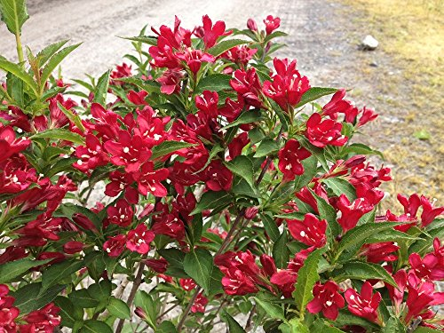 Red Prince Weigela (florida) - Live Plant - Quart (Flowering Shrubs)