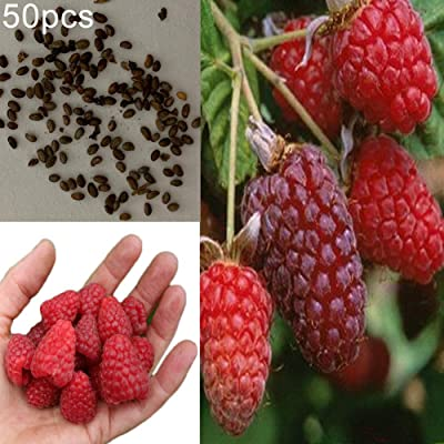 Red Raspberry Seeds, 50Pcs Delicious Red Raspberry Bush Fruit Seeds Sweet Juicy Garden Yard Plant - Red Raspberry Seeds by ToataLOpen : Garden & Outdoor