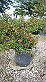 Malpighia punicifolia, Barbados cherry - 3 Gallon Live Plant - 4 pack