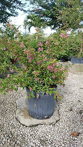 Malpighia punicifolia, Barbados cherry - 3 Gallon Live Plant - 4 pack by PlantVine