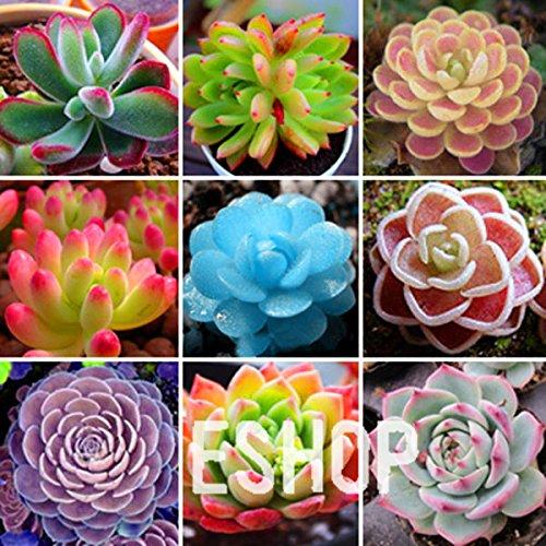 200 Rare Mix Lithops Seeds Living Stones Succulent Cactus Organic Garden Bulk Seed,#8S7Y1E