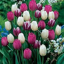 Purple Rain Mix Tulip Bulbs - Tulipa Triumph: Super-Sized X-tra Value Bag! Pre-chilled Read for Spring!!-Daylily Nursery (25)