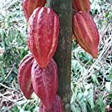 ~Chocolate Tree~ Theobroma Cacao CRIOLLO Cocoa XL 24-36+in Plant
