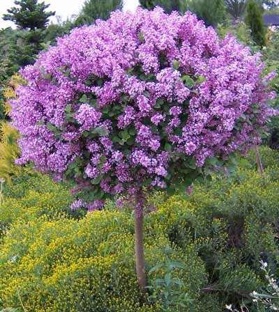 Korean Lilac Tree - 4-5 ft. | Cannot Ship to AZ by Brighter Blooms (Image #3)