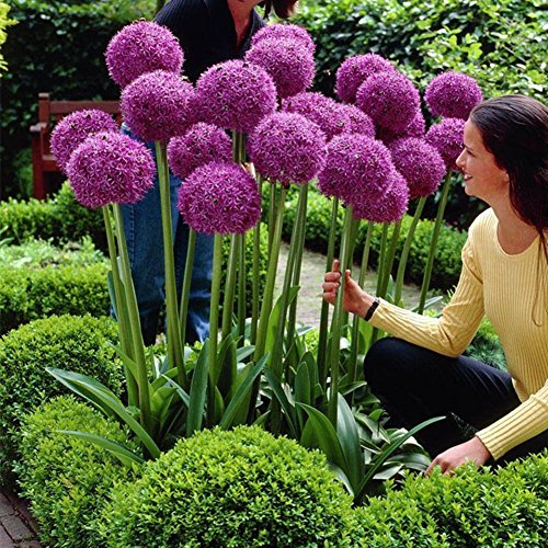 Adarl 25pc package purple allium giganteum seeds for Ornamental garden plants