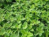 Strawberry Mint Live Plant (mentha spicata 'strawberry')