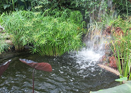 - Papyrus cyperus or Nile grass is a species of aquatic flowering plant .