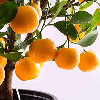 Caiuet Seed, 30pcs Kumquat Seeds Fruit Bonsai Tree Seed Decoration Potted Plants for Home Gardening Balcony Planting : Garden & Outdoor