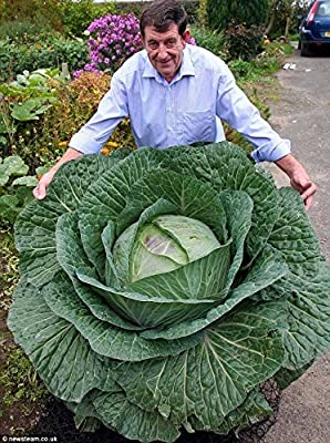Approx 300 Seeds / Pack, Rare Giant Russian Cabbage Healing Medicinal Vitamin Seed