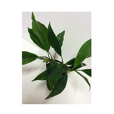 New Live Aquatic Fresh Water aglaonema Species Mother Pot Plant m001 1 pcs: Pet Supplies