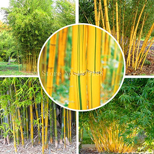 Fargesia fungosa bamboo seeds hardy clumping type garden decoration plant 50pcs bonsai plant home (Hardy Bamboo)