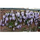 vendita calda 10pcs / piante rampicanti bag, decorativi semi di fiori giardino - arrampicata semi di glicine,