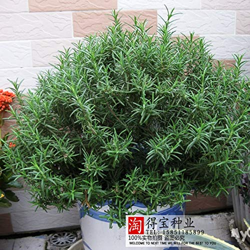 Ani Love Crab Sale Rosemary Garden Terrace Indoor Potted Four Seasons Easy To Sow bonsai Vanilla Marine Dew 100pcs