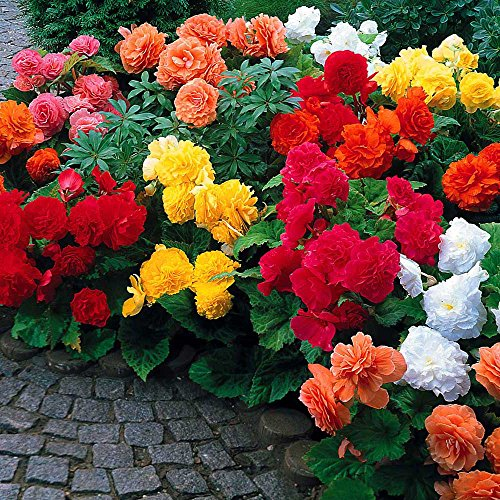 Summer Blooming Bulbs - Begonia Non Stop Mix (5 Bulbs) Brilliant Color Throughout Summer and Fall!