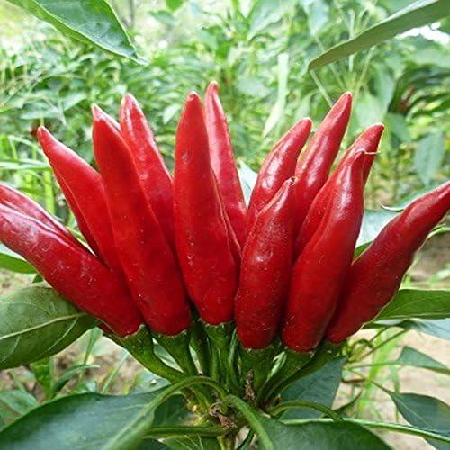 2015 se precipitó Mini Jardín Hierbas Mini Plantas Semillas Bonsai Hot Chili Peppers, semillas de pimienta, verduras paquete de semilla de alrededor de 50 Partículas: Amazon.es: Jardín
