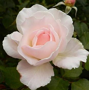 1x Established Renaissance Hybrid Tea Rose Supplied in a 3 Litre  Pot