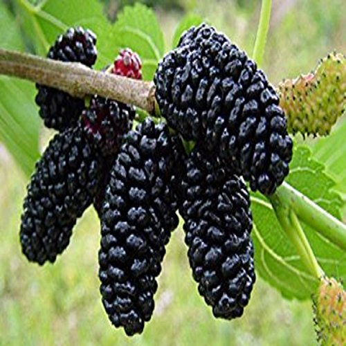 (MULBERRY FRAGRANCE OIL -4 OZ - FOR CANDLE & SOAP MAKING BY VIRGINIA CANDLE SUPPLY - FREE S&H IN USA)