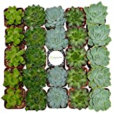 Shop Succulents Rosette Succulent (Collection of 32)