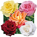 YouGarden Hybrid Tea Rose collection x 5 bare root bushes