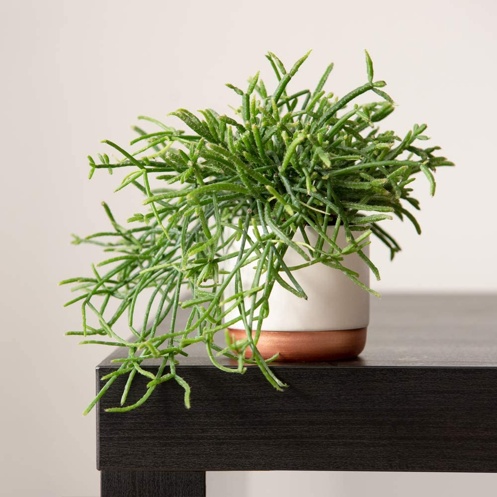 9 Lucky Dip Rhipsalis Collection Mistletoe Cactus Indoor House Plants Random Selection of Rhipsalis Perfect for Modern Contemporary Home 9 x 9cm Pots by Thompson and Morgan