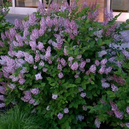 Miss Kim Manchurian Lilac (syringa) - Live Plant - Quart (Butterfly Bush Shade)