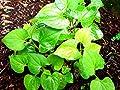 6 Live Bare Root Fish Mint Houttuynia Cordata Asian Herbs Starter Plants Di?p Cá
