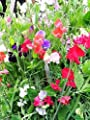 Perennial Sweet Peas (100 Seeds) - Mix,Known As Everlasting Pea Vine !