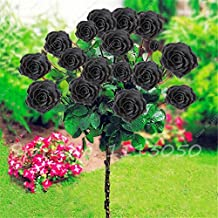 "20+ ""DWARF"" BLACK ""TREE ROSE"" Seeds"